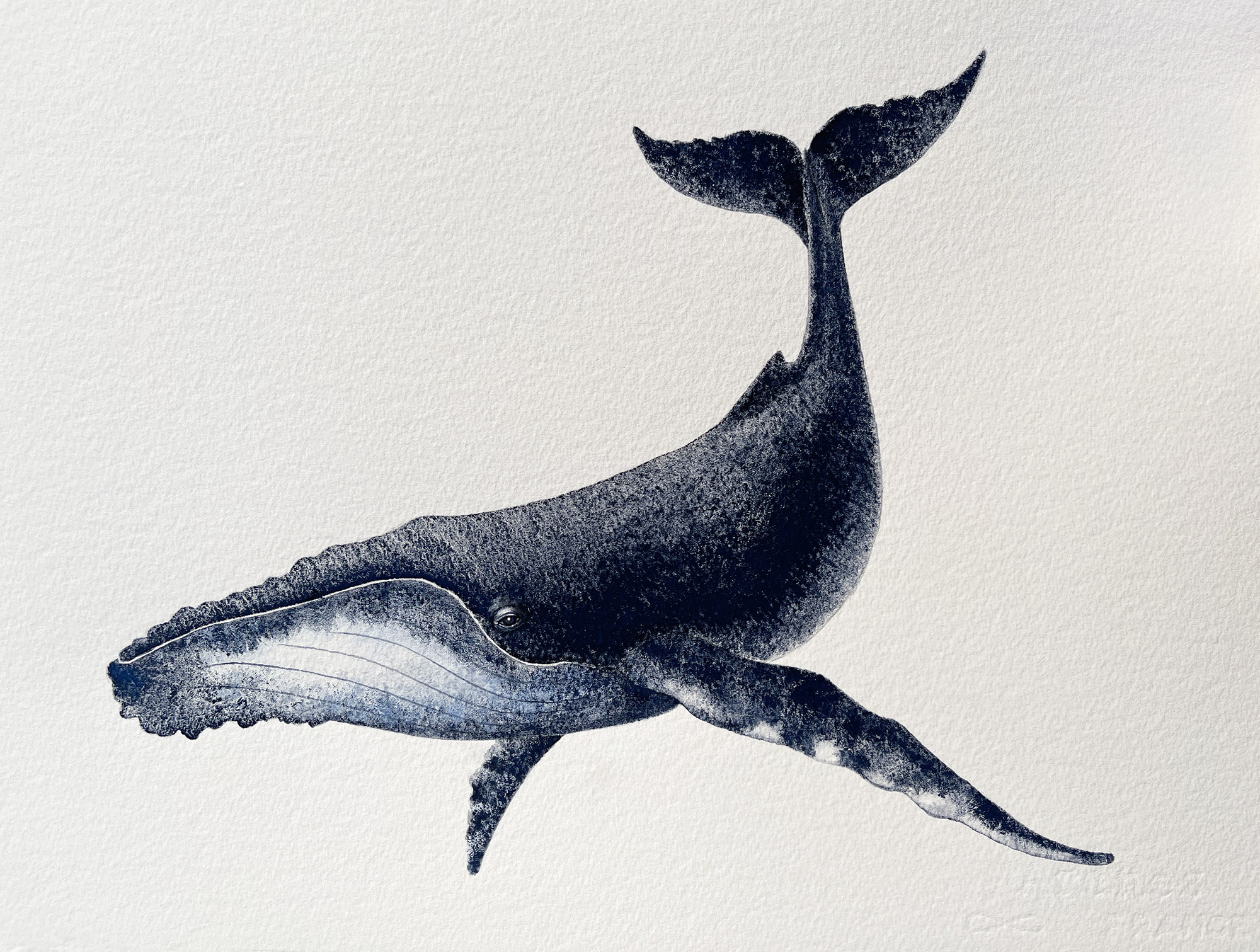 A finely detailed painting of a whale in greys and white on highly textured white watercolour paper