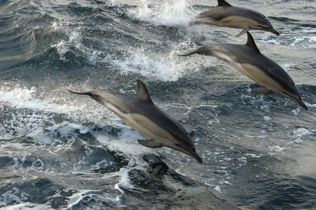 A group of dolphins jumping from the water