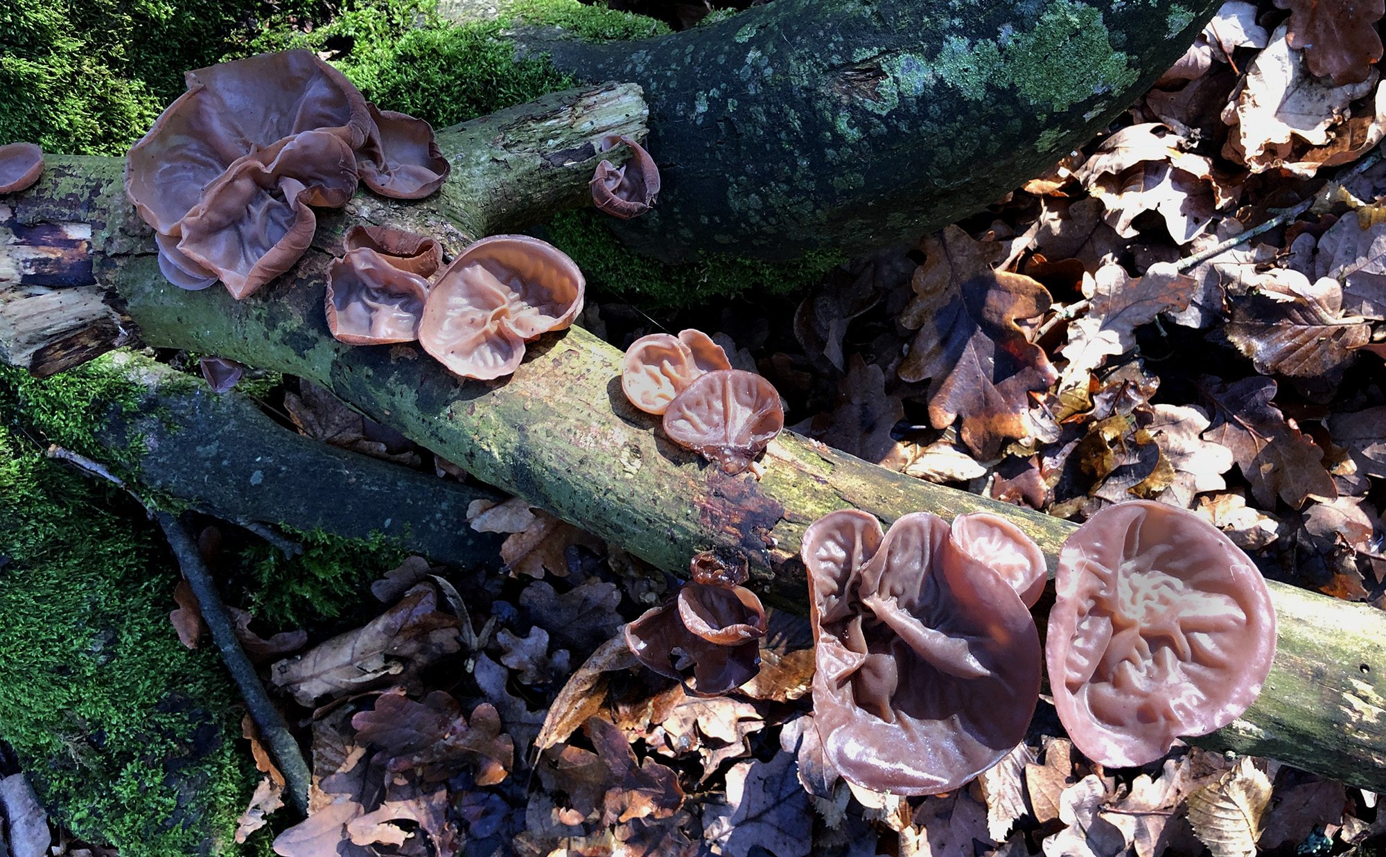 A fallen branch is covered in 'Wood Ear' fungus. Their fleshy colour and thin, upward-curving shape makes them uncannily similar to a human ear.