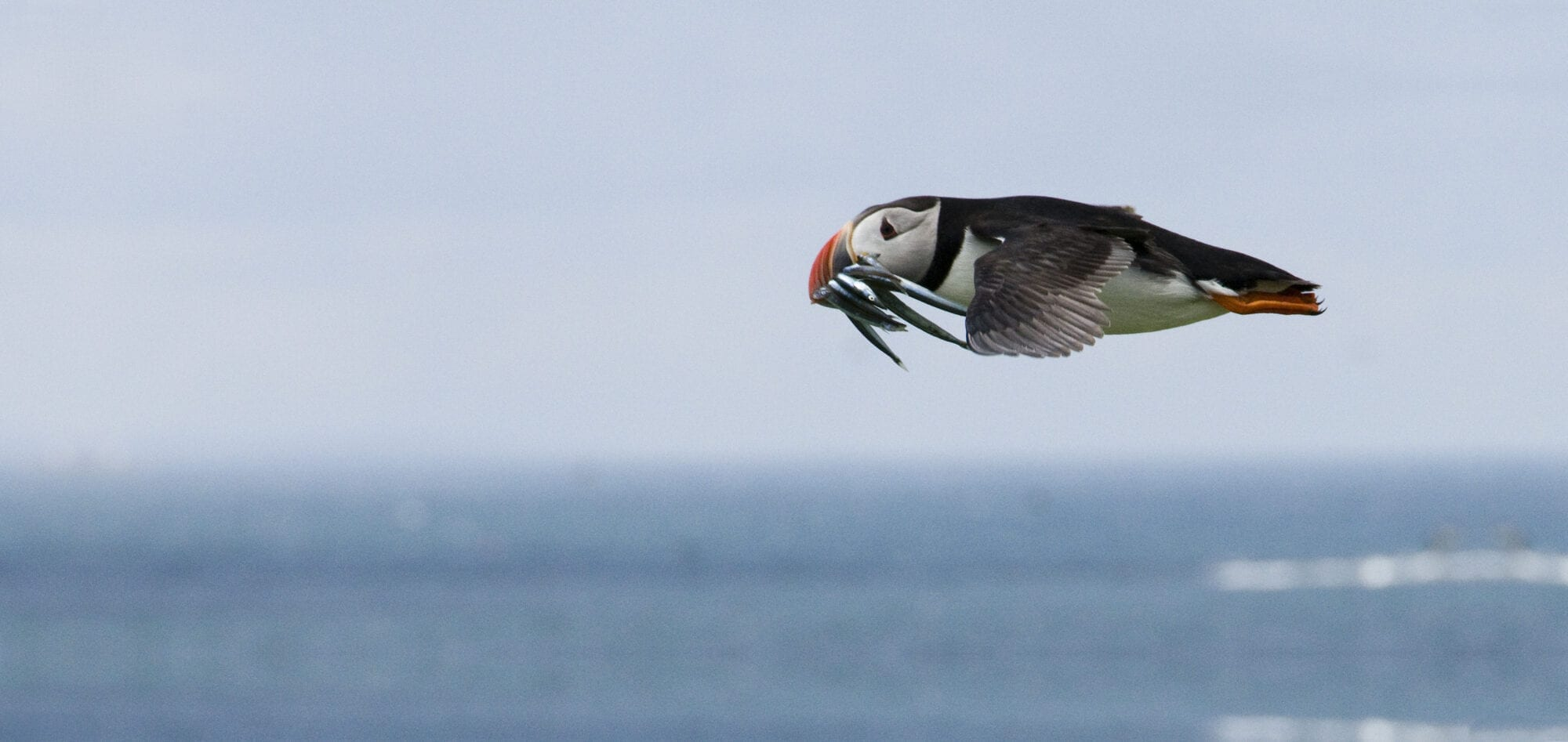 A puffin glides above the surface of the ocean, with several small fish in its colourful beak