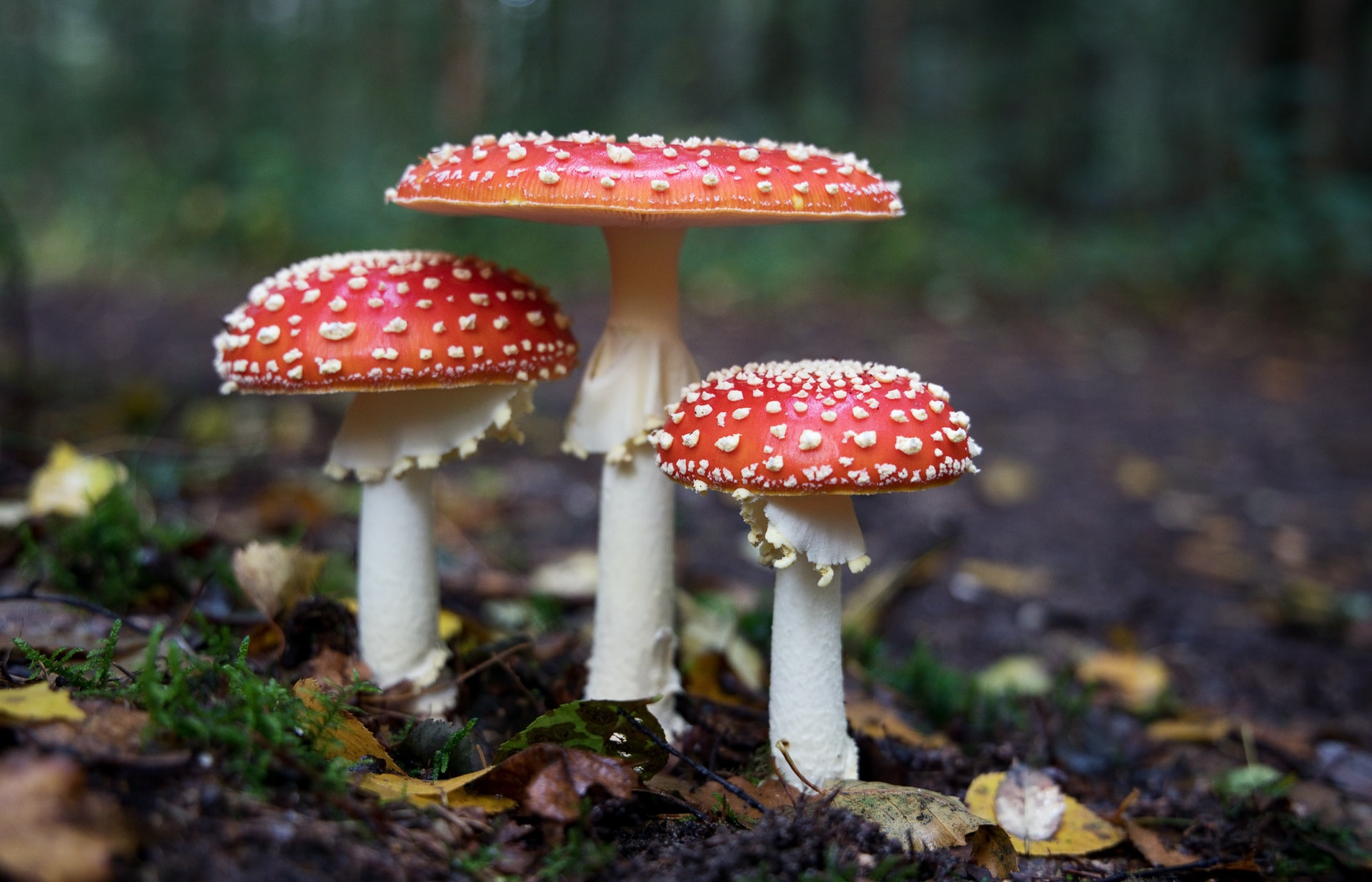 Three 'Fly Agaric' mushrooms sprout from a leafy woodland floor. Their white stems are topped with bright red caps, spotted with white bumps.