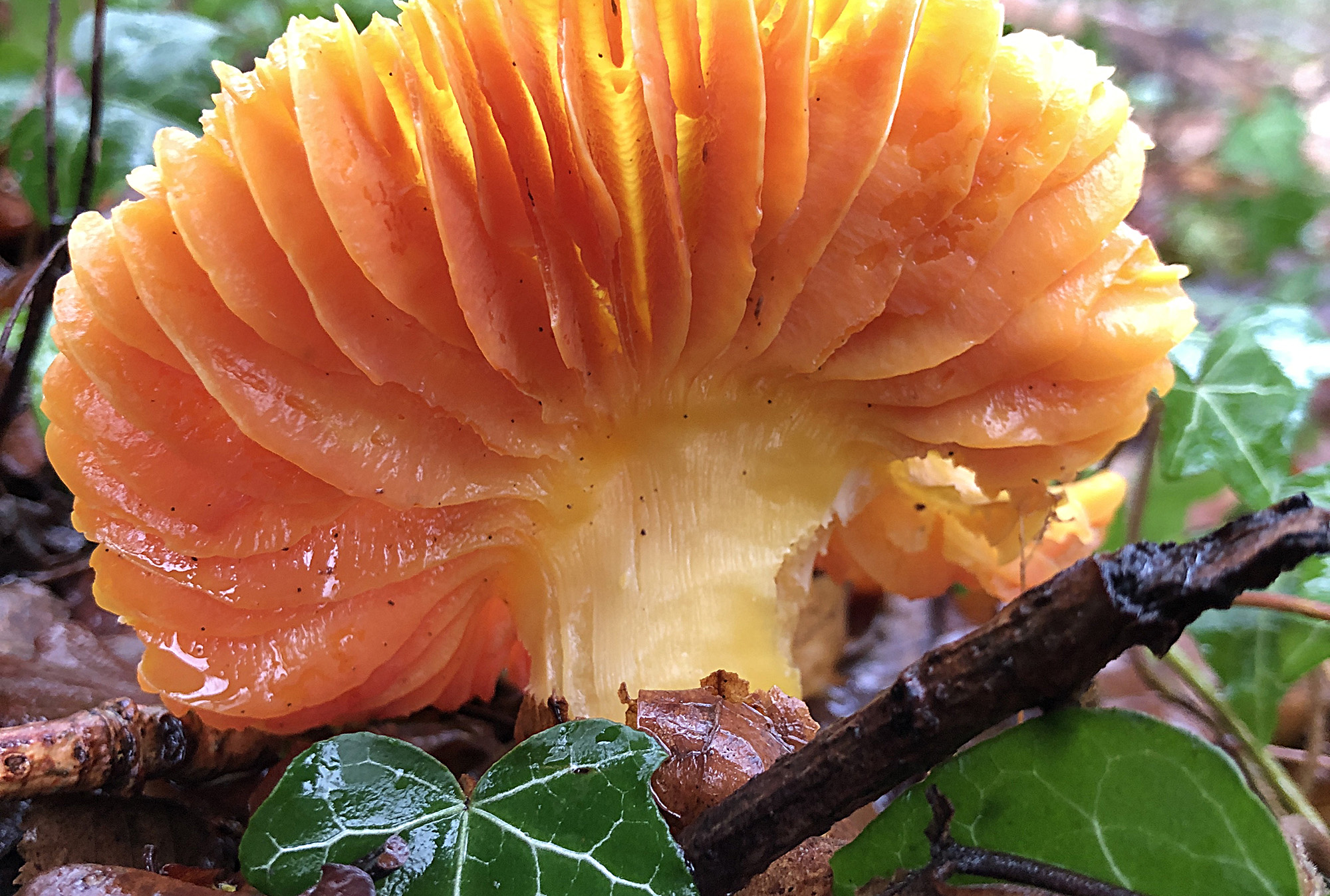 A waxcap mushroom sprouts from a leafy forest floor. Lit from behind by bright sunshine, the orange gills on the waxcap's damp underside glow and glisten.