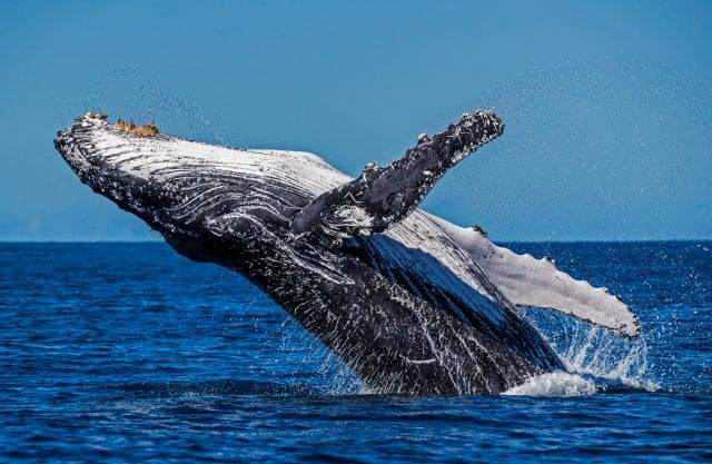 A humpback whale leaps out of a blue ocean
