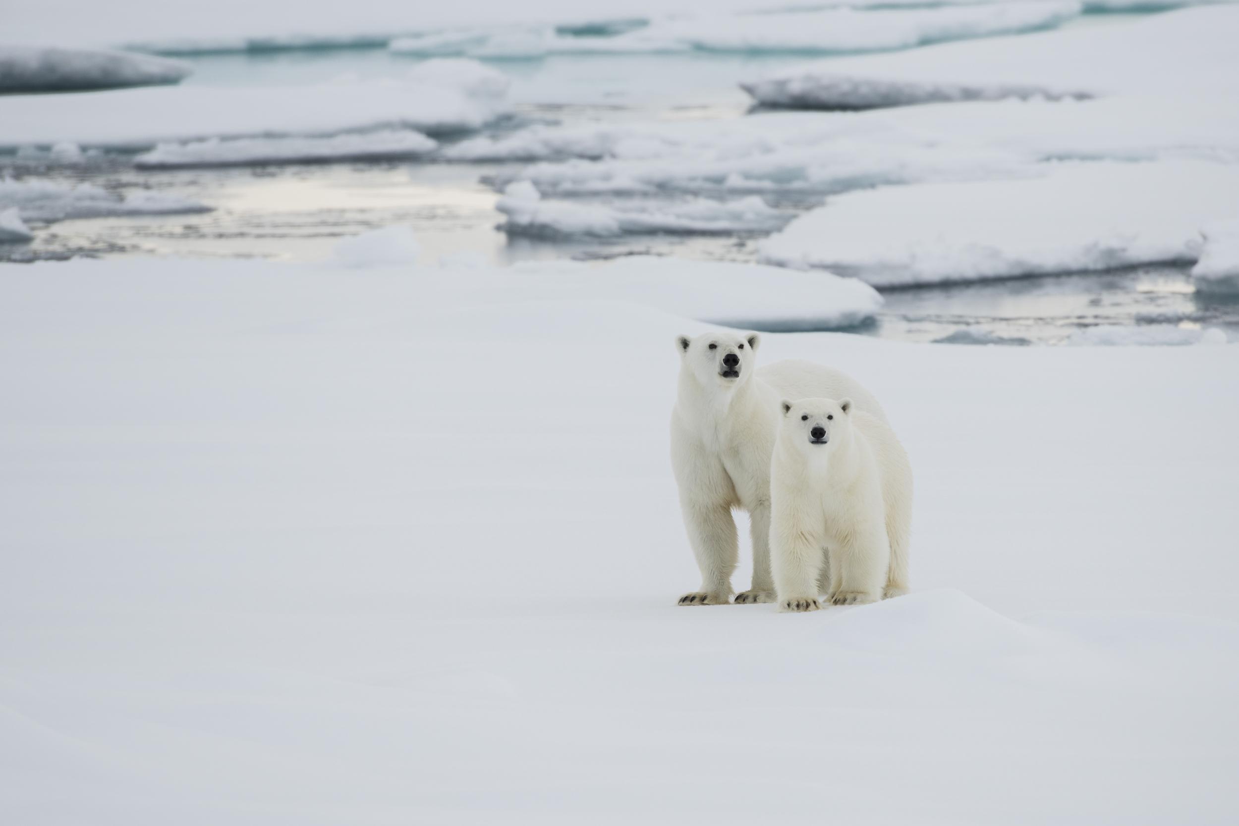 A polar bear and her cub on a snowy seascape