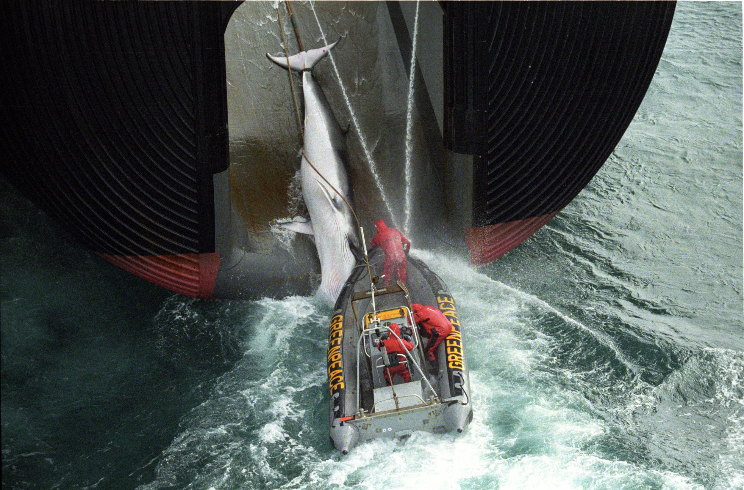 Greenpeace inflatable boat hooks on to a Japanese whaling boat while it is pulling a caught whale on board.